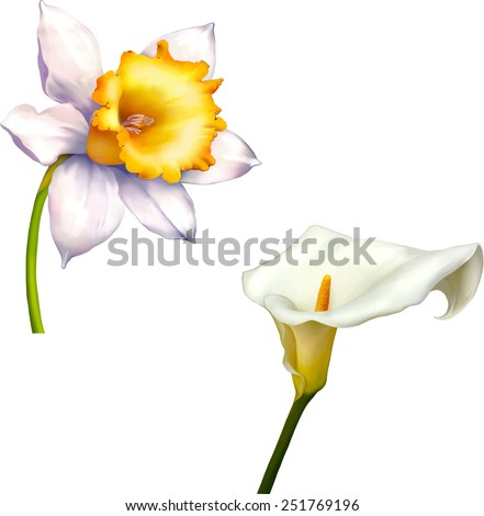Daffodil flower or narcissus, White calla vector isolated on white background - stock vector