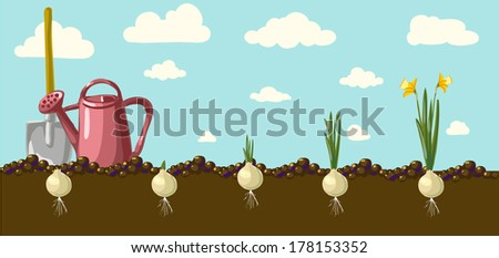 daffodils with bulbs and editable vector in nineteenth-century style - stock vector