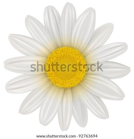 Daisy, chamomile flower isolated; vector. - stock vector