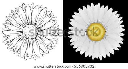Daisy flower on white and black background illustration