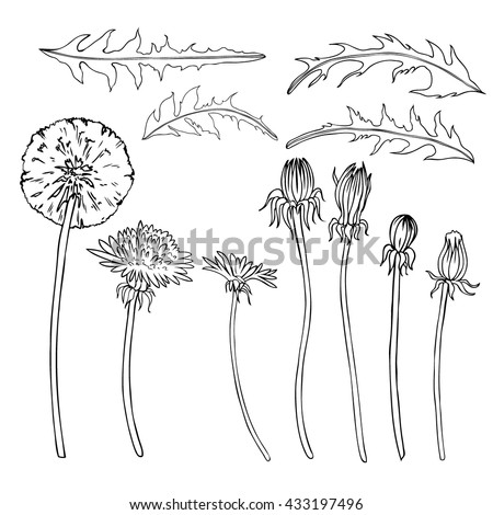 Dandelion flower, bud, leaves vector engraving botanical sketch hand drawn isolated on white, vintage romantic style for greeting card, package cosmetic, page magazines, web sites, wedding invitations - stock vector