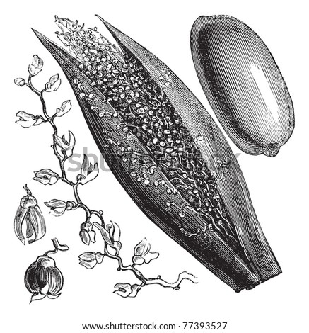Date Palm or Phoenix dactylifera, vintage engraving. Old engraved illustration of a Date Palm inforescence (left and center) and palm fruit (right). - stock vector