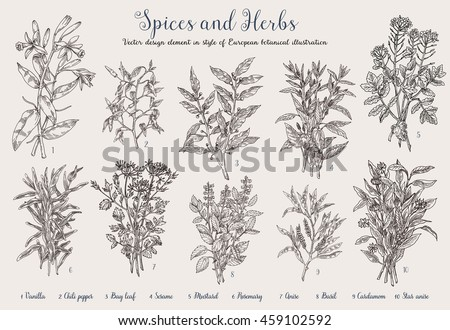 Decorative Vector vintage collection of hand drawn spices and herbs:anise, Vanilla,Celery, Bay leaf, Thyme, Mustard, Rosemary, Cardamom, Basil, Chili pepper, Sesame.  Botanical plant illustration.