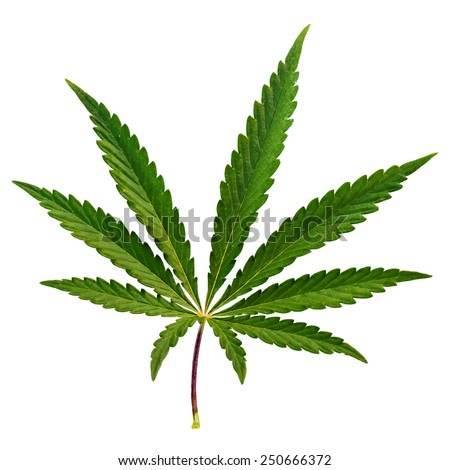 design element.  vector marijuana leaf