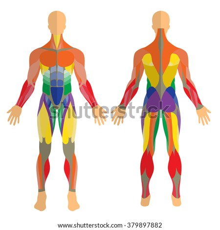 Detailed illustration of human muscles. Exercise and anatomy guide. Front and rear view. - stock vector