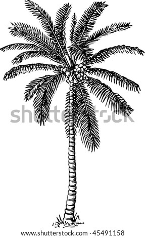 Detailed palm tree - stock vector