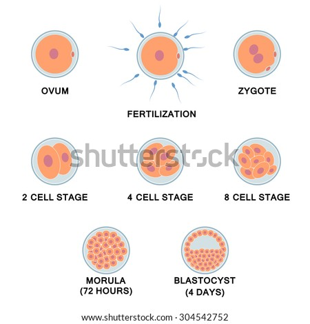 Development of the human embryo. Images of stages from ovum to blastocyst.