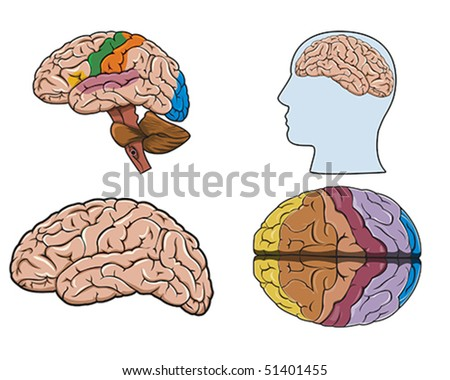 Diagram of a human brain in vector - stock vector