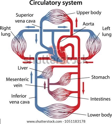 Diagram human circulatory system main parts stock vector royalty diagram of human circulatory system with main parts labeled vector illustration ccuart Gallery