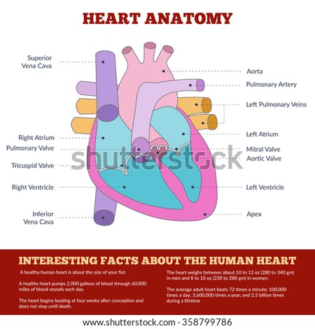 Diagram of human heart anatomy and circulatory system. Circulation of blood through the heart for basic medical education, clinics and schools. Vector info graphics. - stock vector