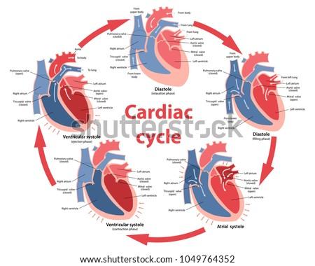 Diagram Phases Cardiac Cycle Main Parts Stock Vector Royalty Free