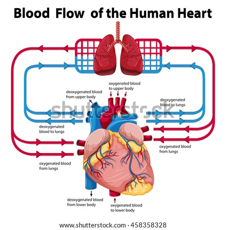 diagram showing blood flow human heart stock vector 458358328, Muscles