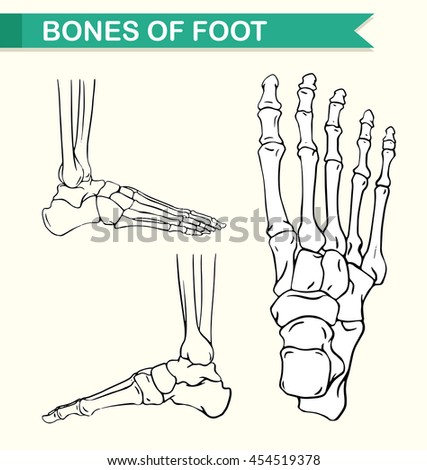 Diagram Showing Bones Foot Illustration Stock Vector 454519378