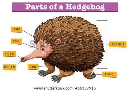 Diagram Showing Parts Hedgehog Illustration Stock Vector