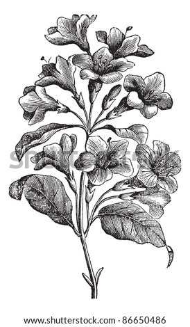 Diervilla rosea, vintage engraving. Old engraved illustration of Diervilla rosea isolated on white background. Trousset encyclopedia (1886 - 1891). - stock vector