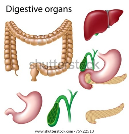 Digestive organs isolated - stock vector