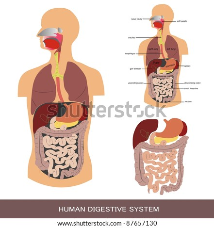 Digestive system, detailed medical illustration. - stock vector