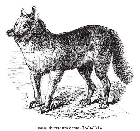 Dingo or Australian Dingo or Canis lupus dingo, vintage engraving. Old engraved illustration of a Dingo. Trousset encyclopedia. - stock vector