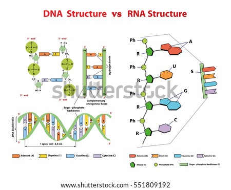 Dna Structure Vs Rna Structure Dna Stock Vector Hd Royalty Free