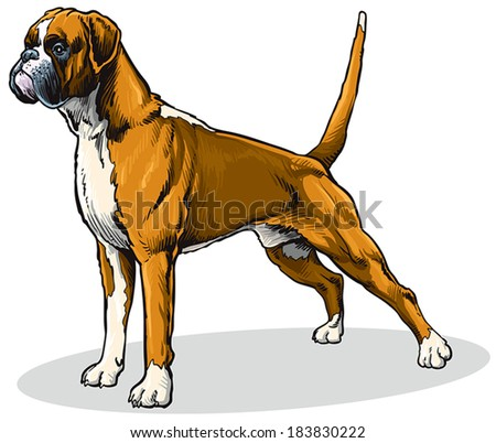 dog boxer breed, standing pose, side view image isolated on white background