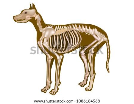Dog Skeletal Anatomy Poster Canine Anatomy Stock Vector 1086184568
