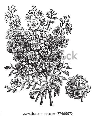 Double wallflower, vintage engraving. Old engraved illustration of Double wallflower, isolated on a white background. Trousset Encyclopedia. - stock vector