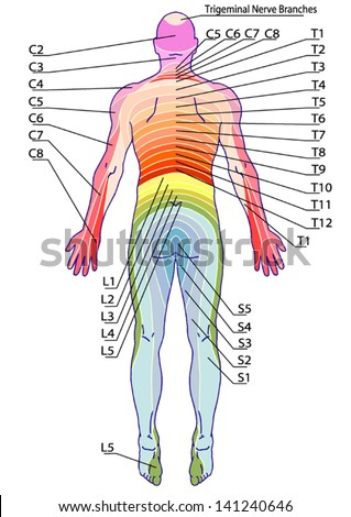 drawing, medical, didactic board of anatomy of human sensory innervation system, dermatomes and cutaneous nerve territories, segmental, radicular, cutaneous innervation of the posterior trunk wall - stock vector