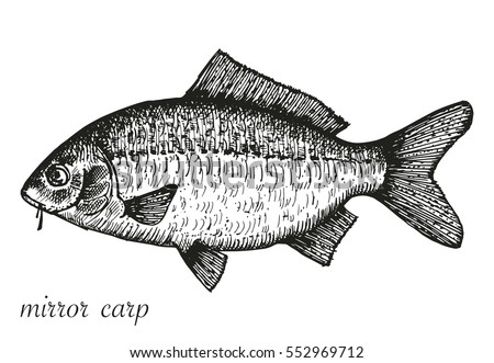 drawing mirror carp. vector illustration