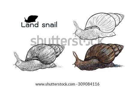 Drawing of crawling land snails on white background - stock vector