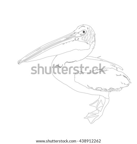 Drawing vector isolated American white pelican - pelecanus erythrorhynchos outlines - stock vector