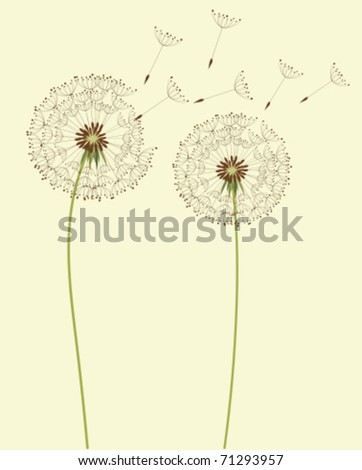 Dry dandelion flowers - vector illustration