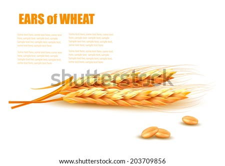 Ears of wheat. Vector illustration.  - stock vector