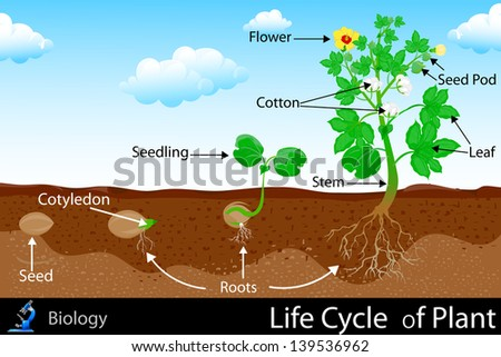 easy to edit vector illustration of life cycle of plant - stock vector