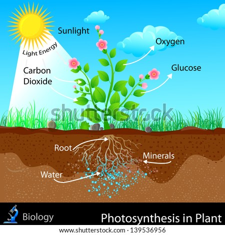 easy to edit vector illustration of photosynthesis in plant - stock vector