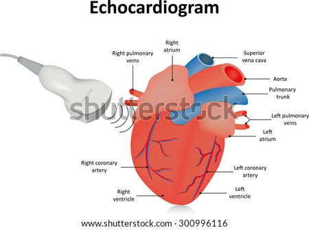Echocardiogram (Ultrasound of the Heart) - stock vector