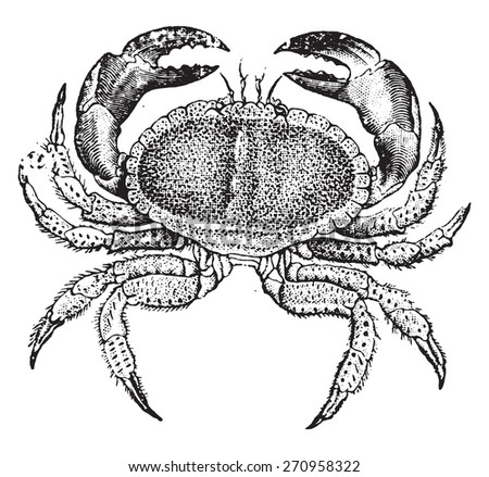Edible crab, vintage engraved illustration. Natural History of Animals, 1880. - stock vector