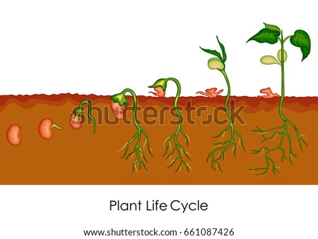 Germination stock images royalty free images vectors for Soil life cycle