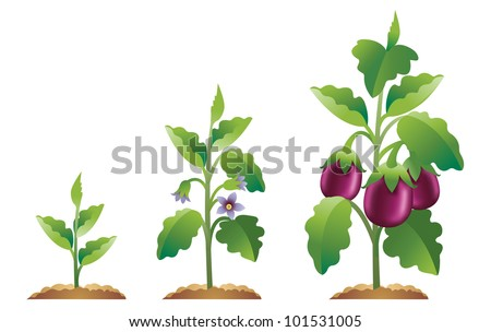 Eggplant Growth Stages From A Small Plant To Fully Grown Eggplant