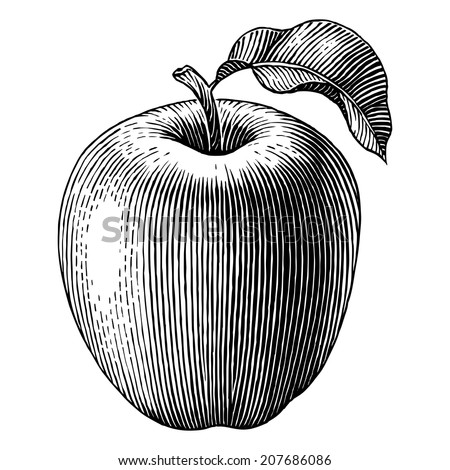 Engraved illustration of an apple. Vector - stock vector