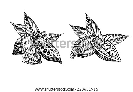 engraved illustration of leaves and fruits of cocoa beans - stock vector