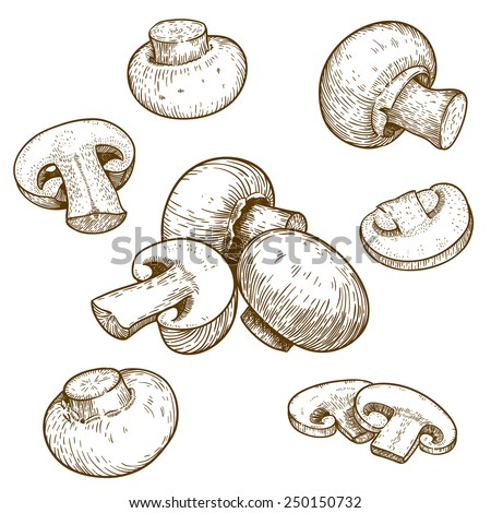 engraving vector illustration of mushrooms champignons on white background - stock vector