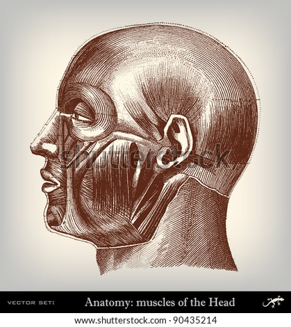 """Engraving vintage muscles head from """"The Complete encyclopedia of illustrations"""" containing the original illustrations of The iconographic encyclopedia of science, literature and art, 1851. Vector. - stock vector"""
