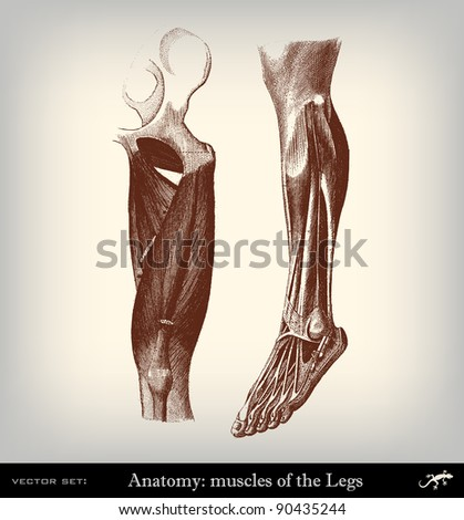 """Engraving vintage muscles leg from """"The Complete encyclopedia of illustrations"""" containing the original illustrations of The iconographic encyclopedia of science, literature and art, 1851. Vector. - stock vector"""