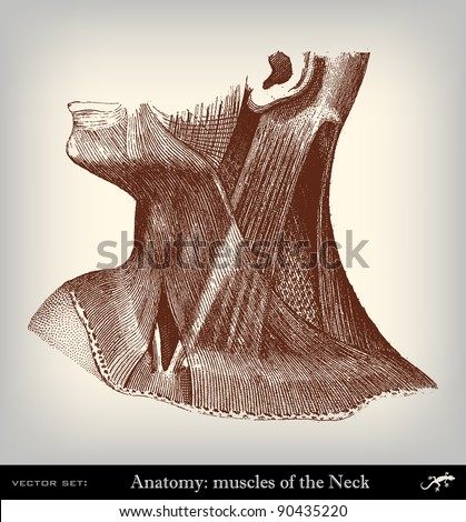 """Engraving vintage muscles neck from """"The Complete encyclopedia of illustrations"""" containing the original illustrations of The iconographic encyclopedia of science, literature and art, 1851. Vector. - stock vector"""