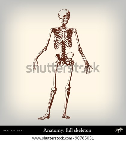 human skeleton anatomy stock images, royalty-free images & vectors, Skeleton