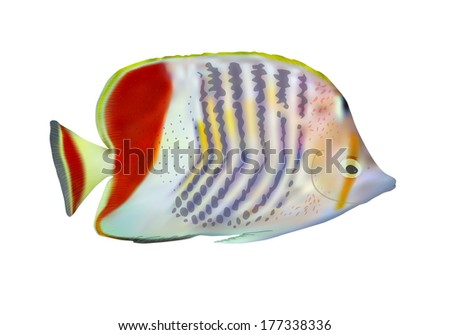 Eritrean butterflyfish (Chaetodon paucifasciatus) on white, vector illustration.