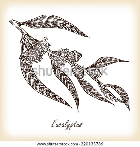 Eucalyptus leaves and flowers hand drawn vector illustration in sketch style - stock vector