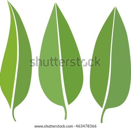 eucalyptus leaves illustration