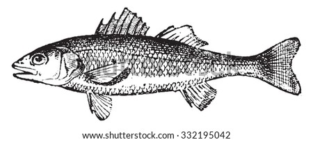 European seabass, vintage engraved illustration. Dictionary of words and things - Larive and Fleury - 1895. - stock vector