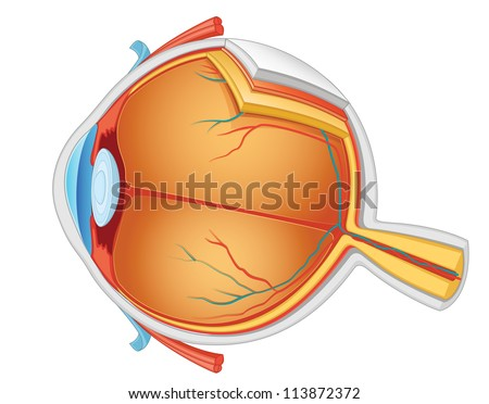Eye anatomy vector illustration - stock vector